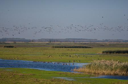 Migratory flock of Barnacle geese flying over nature reserve Oostvaardersplassen in the Netherlands photo