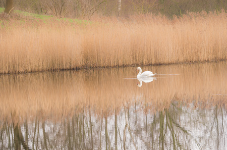 Swan and reflection in the still water of a lake photo