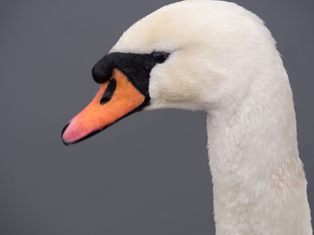 Close-up of the head of a mute swan with red beak photo