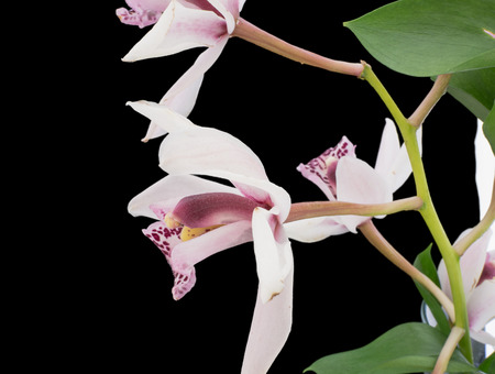 pedicel: Close-up of a flowering phalaenopsis or moth orchid against a black background