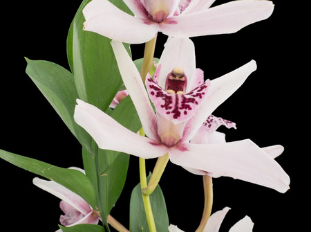 Close-up of a flowering phalaenopsis or moth orchid against a black background photo