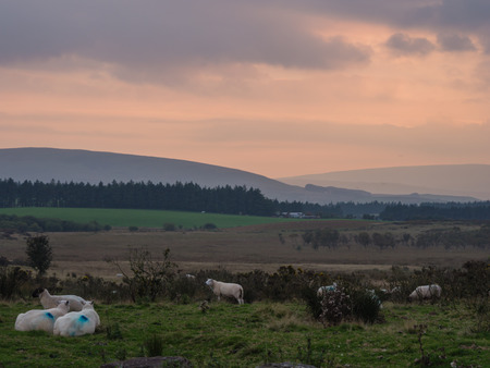 brecon beacons: Sheep at sunset in the Brecon Beacons nature reserve in Wales, UK