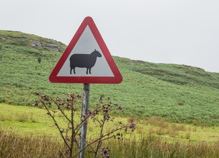 sheep road sign: Road sign in Welsh landscape indicating that sheep may cross the road