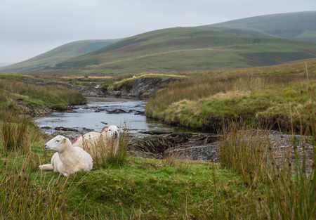 elan: Sheep resting in the green autumn landscape of the Elan Valley in Wales