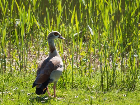 wildfowl: Migratory Egyptian goose  Stock Photo