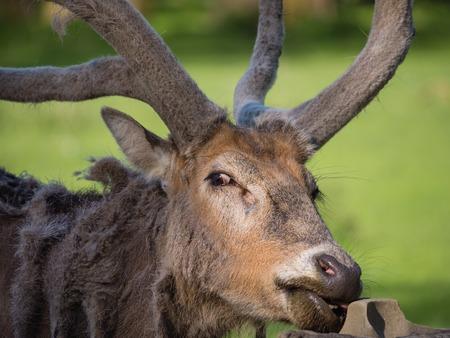Father David s Deer