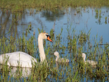 Mute swans and young family photo
