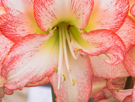 White and red amaryllis flower photo