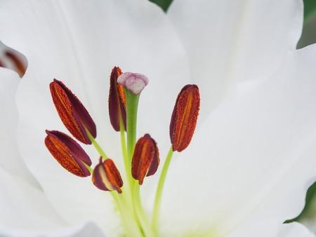 stigmate: La stigmatisation et les anth�res d'un lys blanc