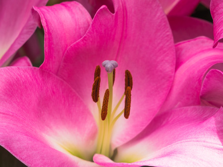 anthers: Petals, stigma and anthers of a pink lily