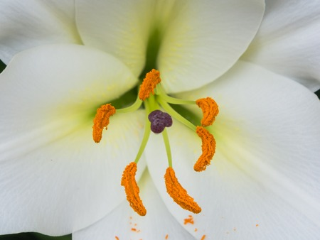 anther: Petals, stigma and anthers of a white lily