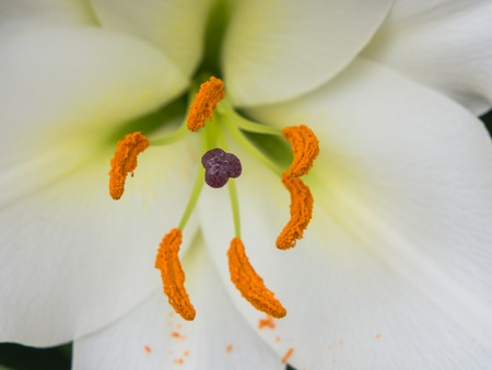 sepal: Petals, stigma and anthers of a white lily
