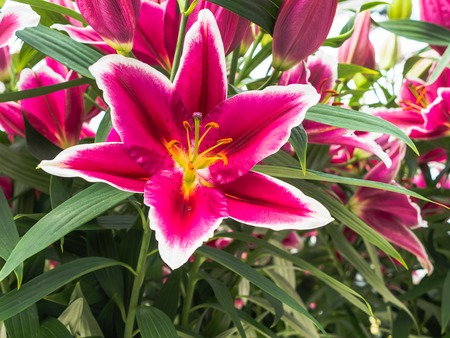 anther: Pink lily  with white edges
