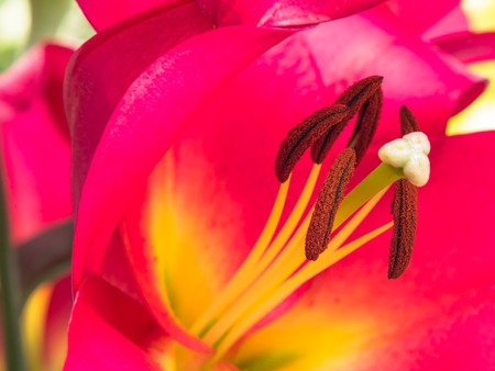 anther: Petals, stigma and anthers of an pink lily