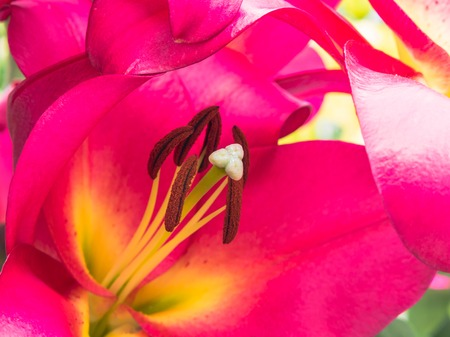 anther: Petals, stigma and anthers of a pink lily