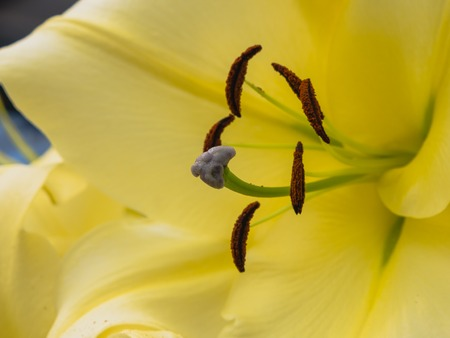 anther: Petals, stigma and anthers of a yellow lily Stock Photo