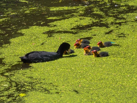 coot: Coot feeding her young chicks Stock Photo