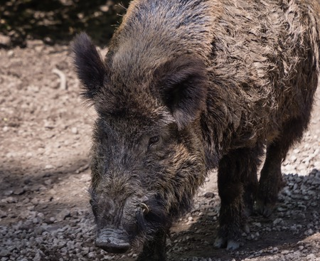 Adult wild boar photo