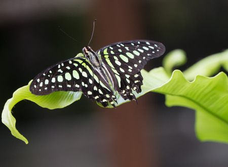 yellow tailed: Close-up of a tailed green jay butterfly on a leaf