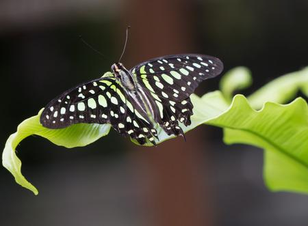 green jay: Primer plano de una mariposa jay verde de cola en una hoja