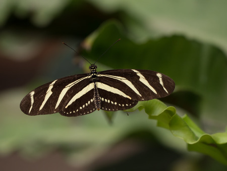 Close-up of a zebra longwing butterfly on a leaf