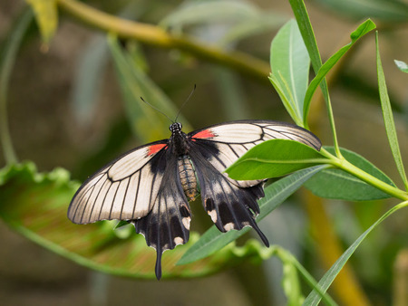 swallowtail: Black, red and white exotic swallowtail butterfly