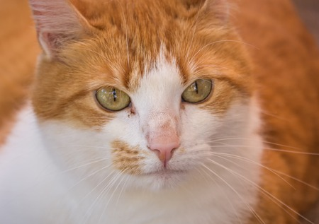 face close up: Close up of the face of a red haired cat Stock Photo
