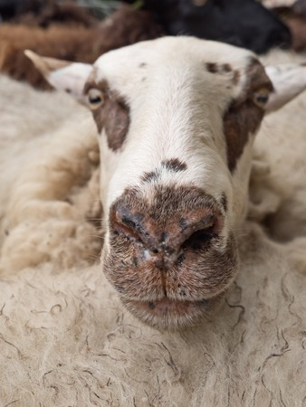 Close-up of a sheeps head in a flock of sheep waiting to be shorn - focus on nose