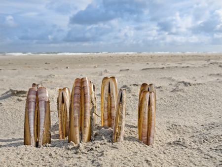 ensis: Ensis Razor Shells lined up on the beach Stock Photo
