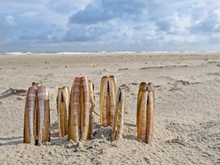 Ensis Razor Shells lined up on the beach Фото со стока