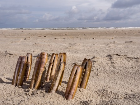 ensis: Composition of razor clams washed upon the shore along the North Sea Stock Photo