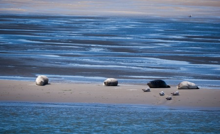 sandbank: Common grey seals gathered on a sandbank in the Dutch Waddenzee Stock Photo