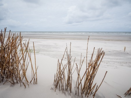 desert ecosystem: Brown marram grasses blowing in the wind along the coast of Ameland in the Waddenzee