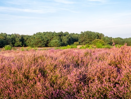 heathland: Field of purple blooming heather at sunset in Dutch landscape