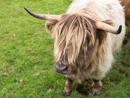 highlander: Rubio claro Scottisch altas vaca en el prado