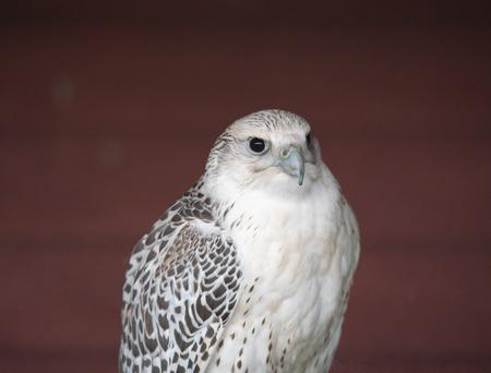 Peregrine falcon, the fastest bird
