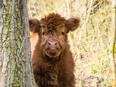 Scottish highland cow calf Stock Photo