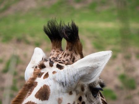 Close-up of giraffes head