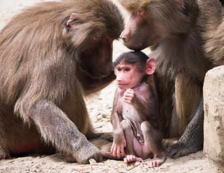 Hamadryas baboon or papio hamadryas family