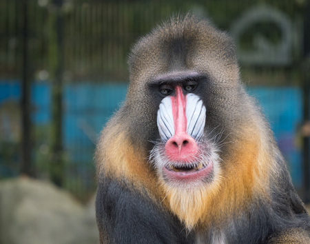Frontal close-up portrait of a mandrill monkey with a colorful face Stock Photo