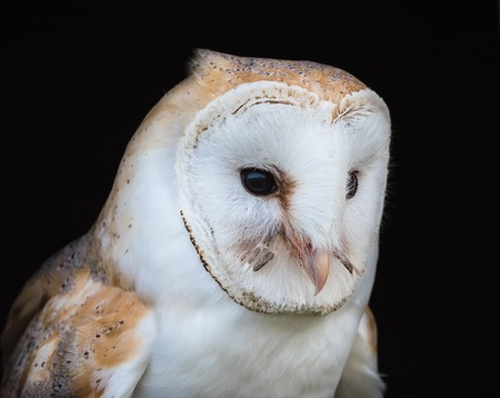 Close up view of a barn owl Imagens