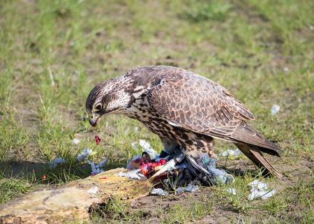 Lanner falcon or Falco biarmicus devours his pigeon prey