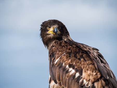 Immature American bald eagle or Haliaeetus leucocephalus against a blue sky