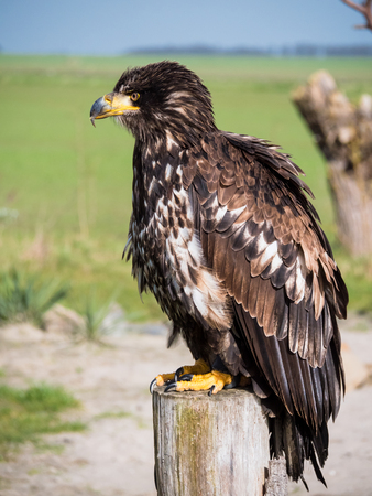 Immature American bald eagle sitting on a pole