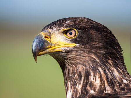 Close-up of an immature American bald eagle 免版税图像