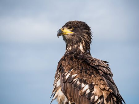 Immature American bald eagle against blue sky