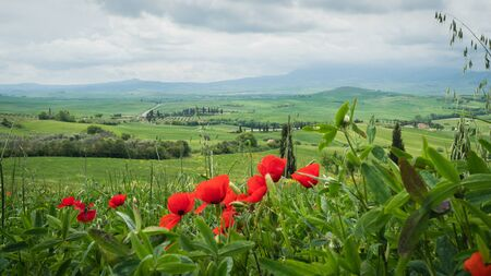 Poppies in a field in Tuscany, Italy