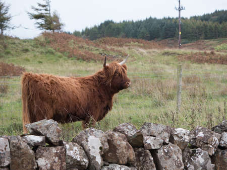 Highland cow on the Isle of Mull