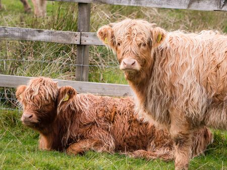 Highland cows in Scottisch landscape stare at camera