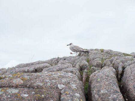 Herring gull sits on a coastal rock